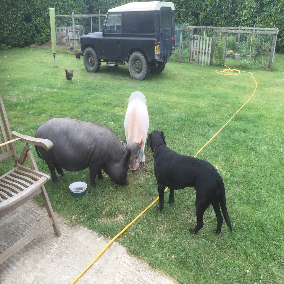 Pumba and Pinka - The Kune Kune Pigs!