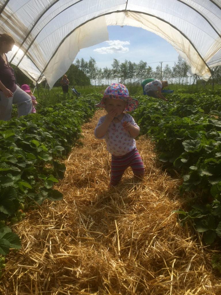 2015-Rectory-Farm-strawberries-PYO-Rosie